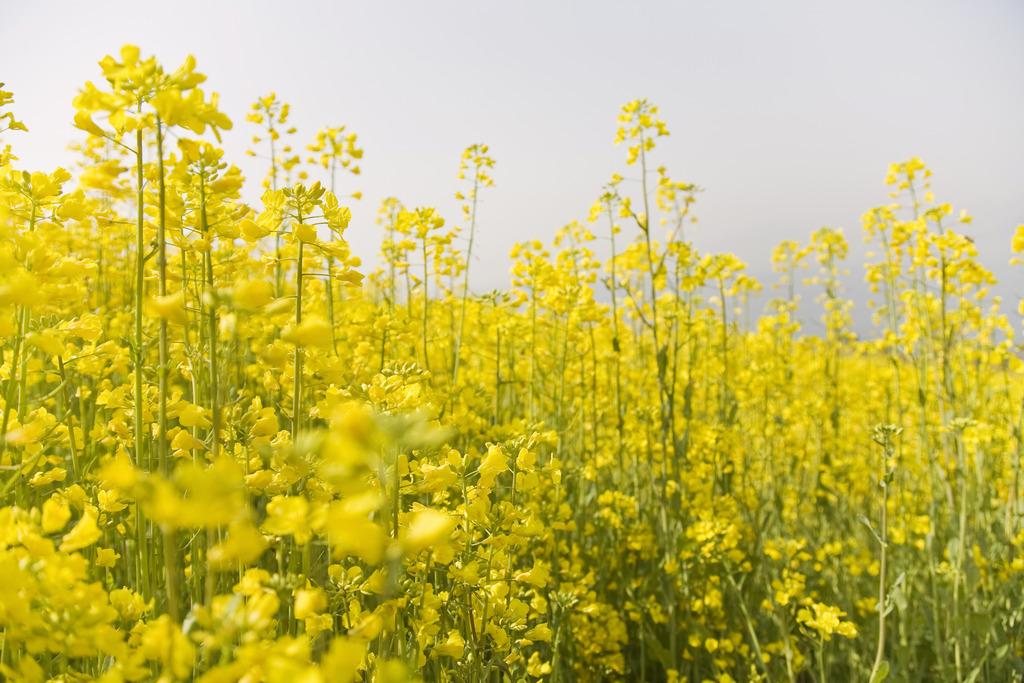 壁纸 成片种植 风景 花 植物 种植基地 桌面 1024_683